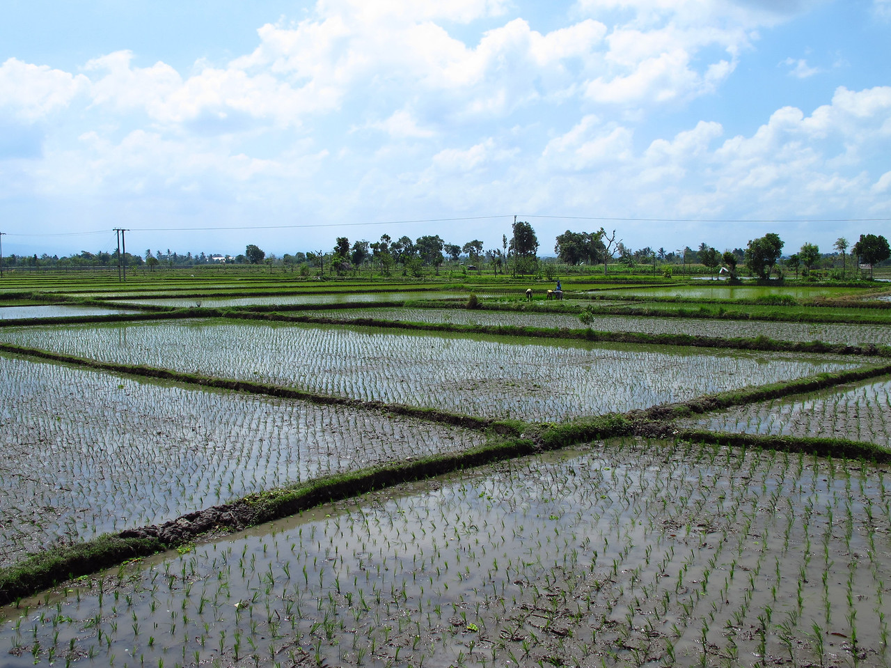 Rice is a major crop in some areas of Lombok where water is plentiful.  On Lombok The lowlands are highly cultivated. Rice, soybeans, coffee, tobacco, cotton, cinnamon, cacao, cloves, cassava, corn, coconuts, copra, bananas and vanilla are the major crops grown in the fertile soils of the island.