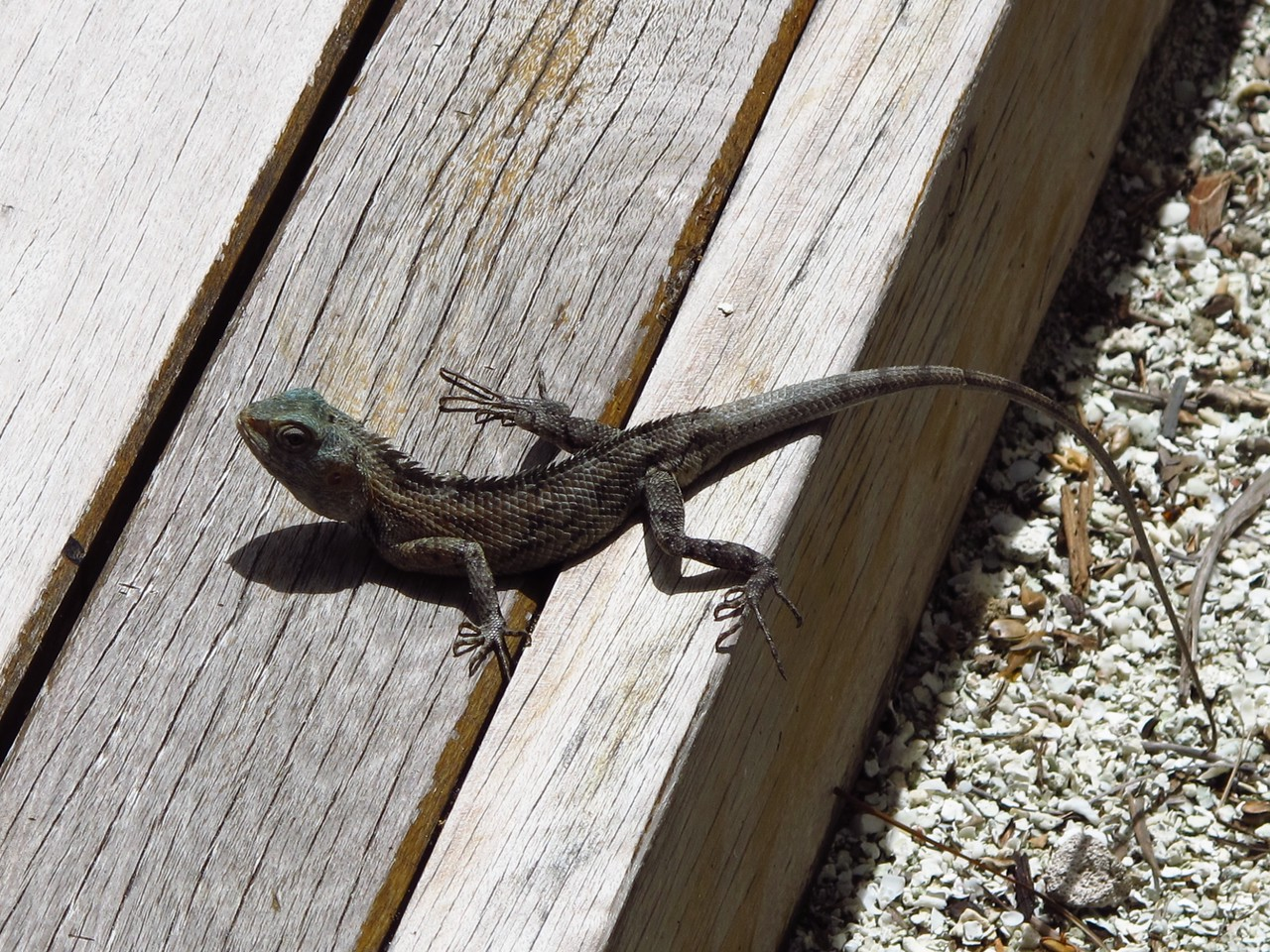 As with any tropical setting, you also get to see quite a few creatures around your villa, like this larger gecko.