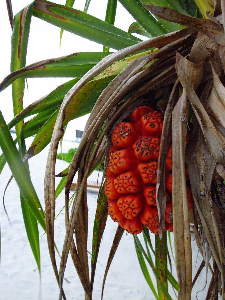Typically, the fruit changes from green to bright orange or red as it matures. The fruit of some species are edible. Pandanus fruit are eaten by animals including bats, rats, crabs.  Three species are commonly found in Maldives. It is considered a Maldivian delicacy.