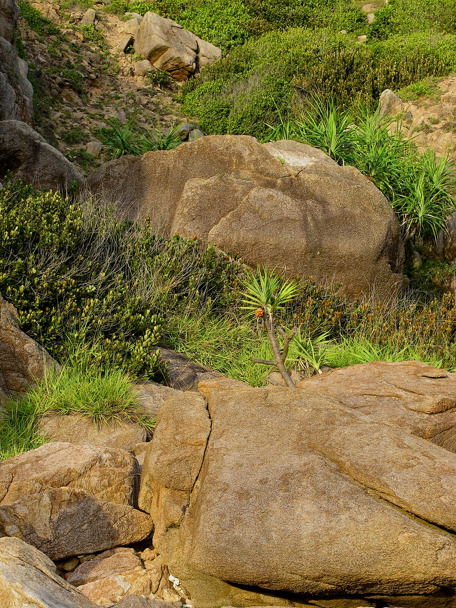A lone pandanus tree grows out of the rocks on the surrounding hill side above the beach.